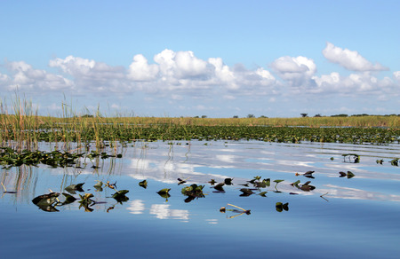 sawgrass: Waterlilies on wetland in Everglades Florida