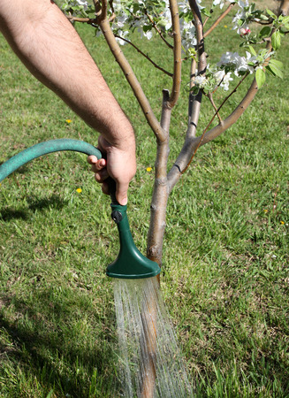 Gardener watering young fruit tree Stock Photo