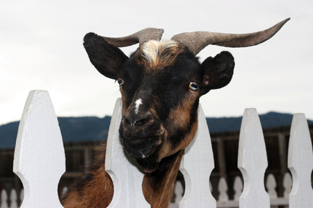 confined: Old male goat looking through white fence.