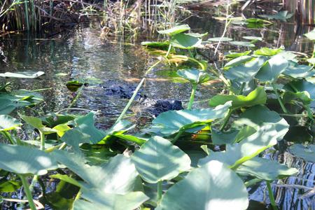 everglades: Alligator in Everglades Florida
