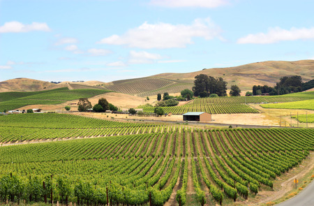 napa valley: Scene of vineyard field in napa valley