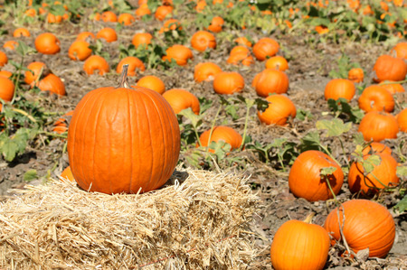 Ripe orange pumpkins on farm ground Stock Photo