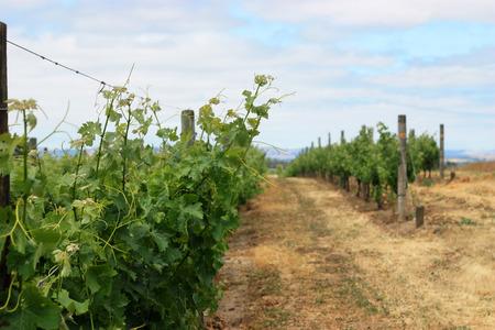 napa valley: Scene of grape vineyard in Napa Valley Stock Photo