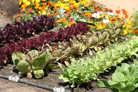 Garden with young fresh vegetables Standard-Bild