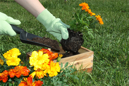 potting: Potting flowers outdoors during spring