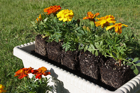 potting: Potting colorful flowers outdoors during spring Stock Photo