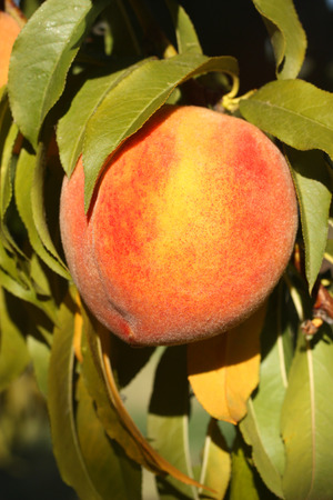 Ripe juicy peach on tree branch