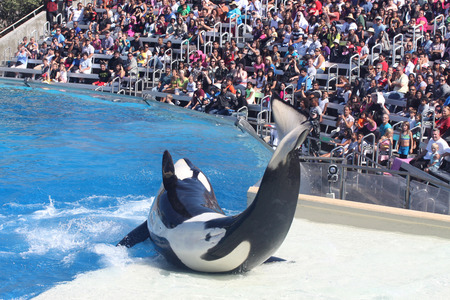 Killer whale performing at the park