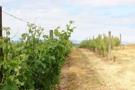 Scene of grape vineyard in Napa Valley 版權商用圖片