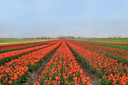 Rows of colorful tulips on farm in Holland