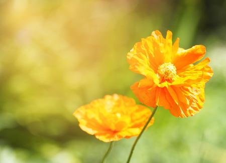 Bright orange poppy flowers in the field