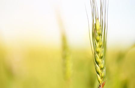Young green wheat in the field 版權商用圖片