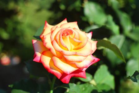 Beautiful Open Rose