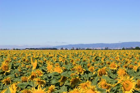 Sunflower field during summer