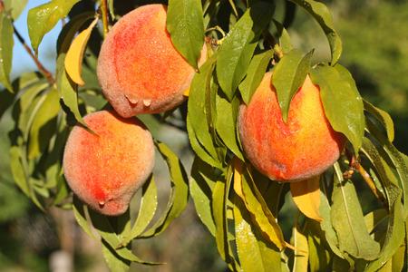 Fresh ripe peaches on tree branch 版權商用圖片