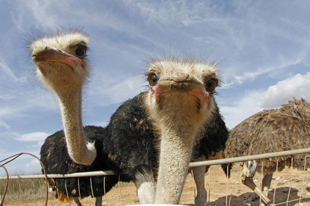 October 15, 2011 - A couple of ostrich seen at her enclosure in an ostrich farm in the Spanish island of Mallorca