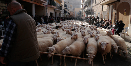 Muro Mallorca, Spain - January 17, 2018 - A flock of sheeps walks the streets of the village before being blessed by a priest in Muro in the island of Mallorca, Spain, January 17, 2018. Hundreds of pet owners ands cattle ranchers bring their animals to be