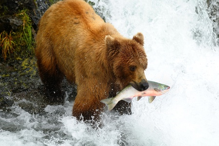 brown bear: brown bear in Alaska.
