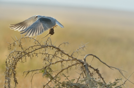 Black-shouldered Kite catching the mouse flying