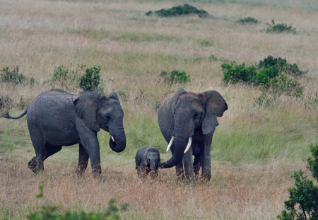land mammal: African elephant is the largest land mammal