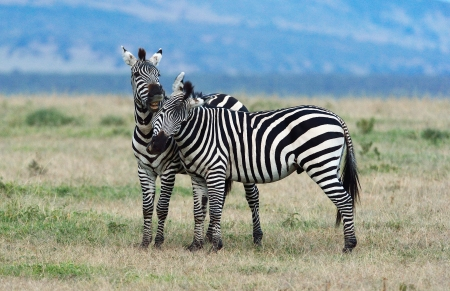 Zebras are kissing each other  photo