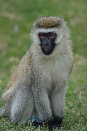 Vervet Monkey has a blue dick