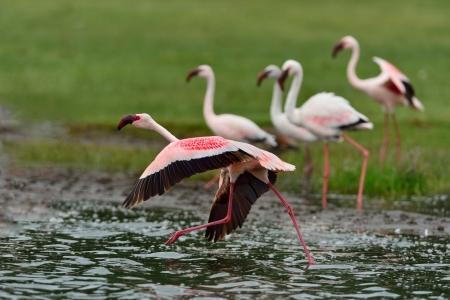 Lesser Flamingos are taking off in Lake Nakuru.