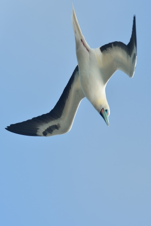 Short-tailed albatross fling in Hawaiian islands