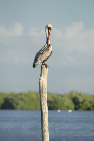 Brown Pelican perch on a tree stump Фото со стока - 18514582