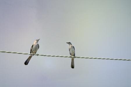 mockingbird: Northern Mockingbird couple perching in the wire  Stock Photo