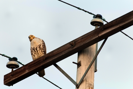 Red-tailed Hawk Buteo jamaicensis  perched on a telegraph pole