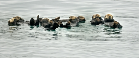 Otters family get together in the ocean  Banco de Imagens