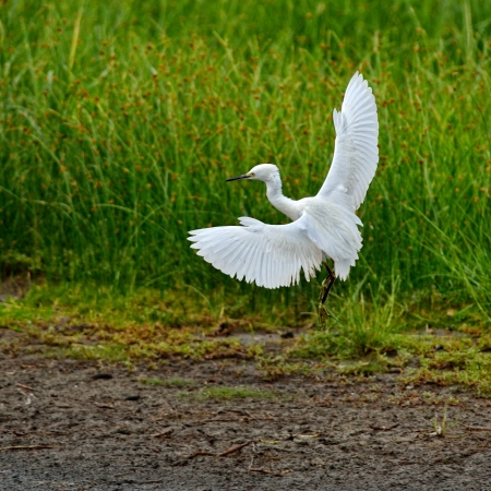 Snowy Egret landing on water with wings spread at Chincoteague National Wildlife Refuge, Virginia