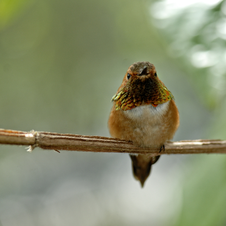ruby-throated hummingbird perched on a tree limb Banco de Imagens