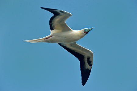 booby: Red-footed Booby is flying in main island in Hawaii