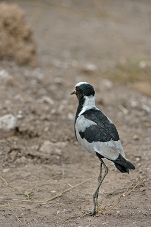 lapwing: Blacksmith Lapwing is standing on the ground in Africa