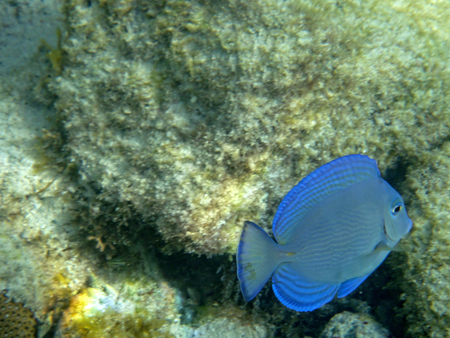 blue tang: Blue Tang is fishing in the ocean