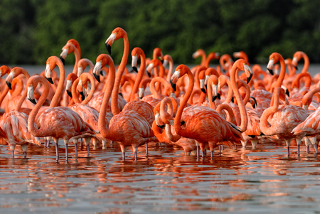 Flock of greater flamingos  Phoenicopterus roseus  in Mexico