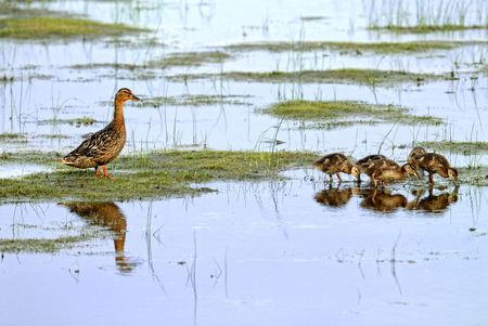 platyrhynchos: Mallard mother are taking care of their babies