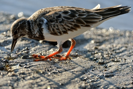 Least Sandpiper on the sand in Hawaii beach