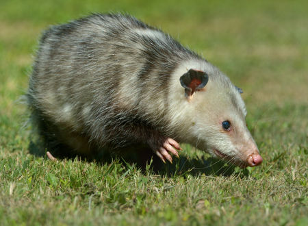 grizzled: Virginia Opossum is climbing in the grass in Virginia