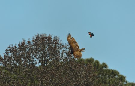 turkey vulture: Turkey Vulture and male Red-winged Blackbird are fighting each other Stock Photo