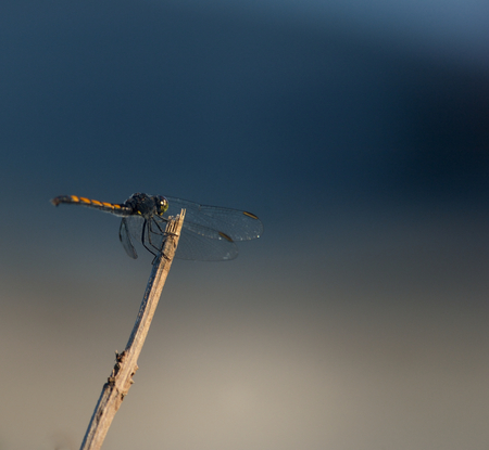 female Calico Pennant is perching on the branch Stock Photo