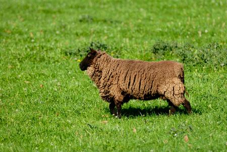 suffolk: Suffolk Sheep is feeding on the grass