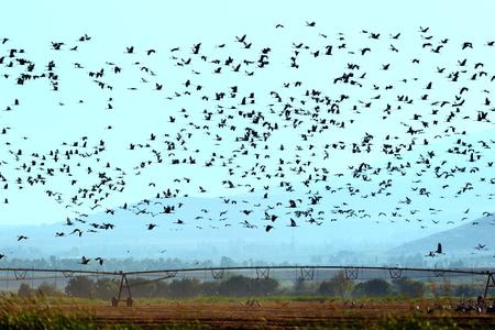 bird of israel: Common cranes are flying in Hula Lake upper Galilee Israel
