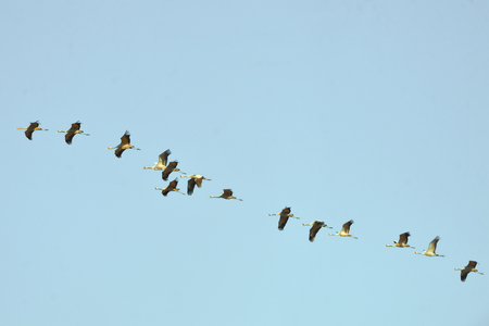 Common cranes are flying in the blue sky in Israel