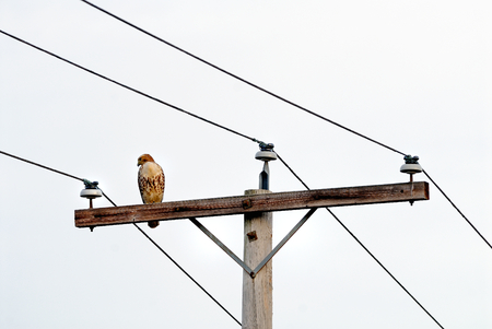 Red-tailed Hawk(Buteo jamaicensis) perched on a telegraph pole