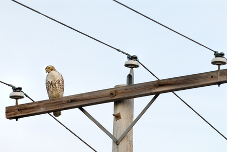 Red-tailed Hawk(Buteo jamaicensis) perched on a telegraph pole photo