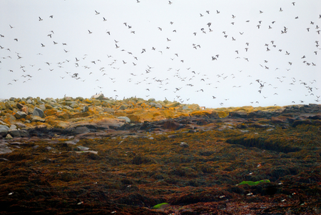 fling: Atlantic Puffins and birds are fling in Marine Seal island in Maine Stock Photo