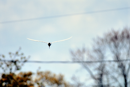 forster: Forster tern is flying in the sky